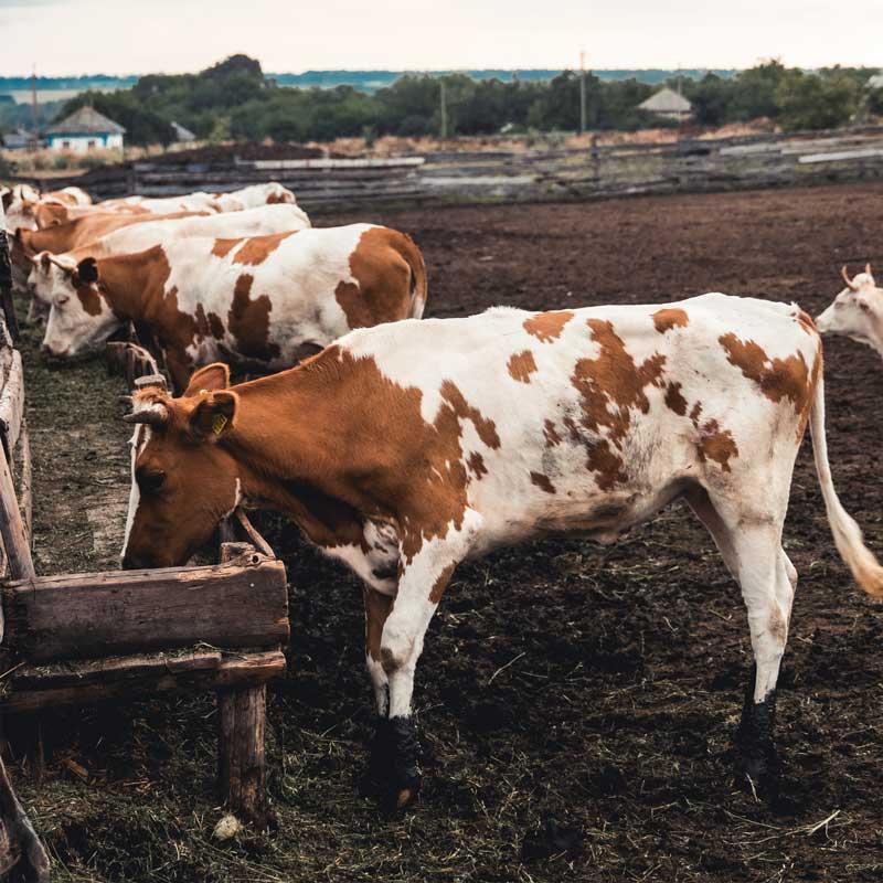 Rinderrassen für bestes Steak - Fleckvieh